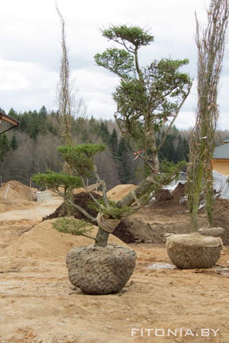 посадить большие деревья