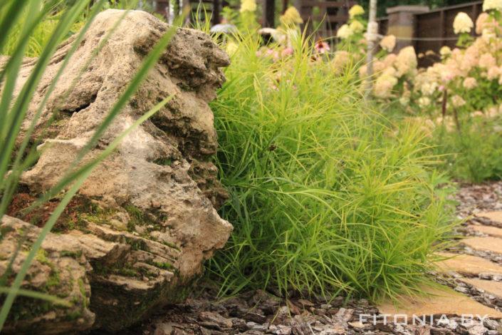 осока растение
